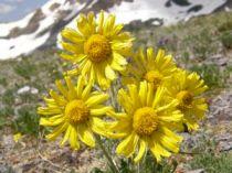 hymenoxys_grandiflora.jpg