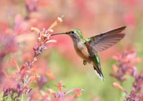 leslie holzmann hummingbird pic